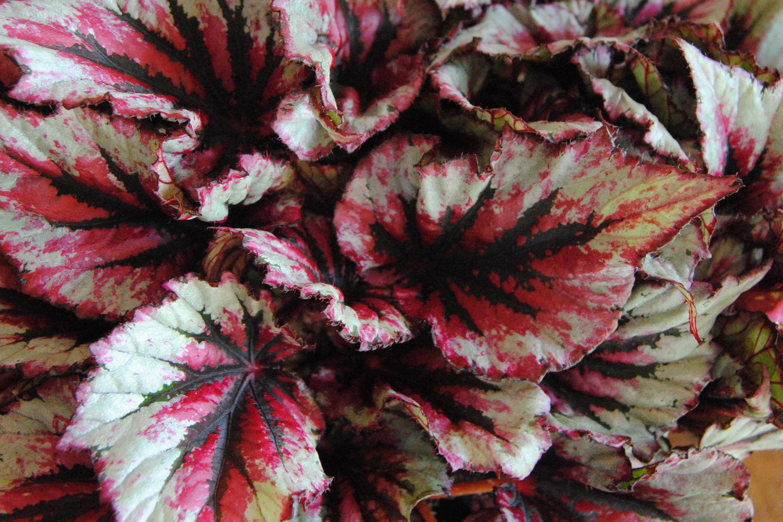 detalle colores hoja planta de Begonia plata y rosa Mayula flores