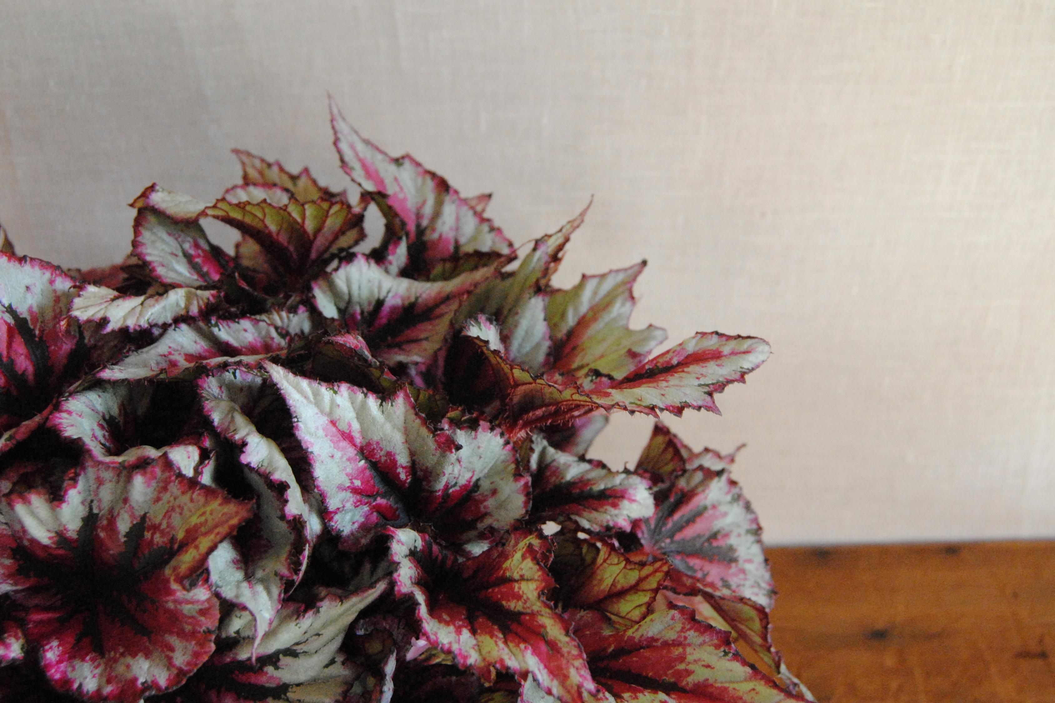Planta Begonia Mayula flores